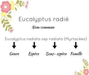 Eucalyptus radié huile essentielle
