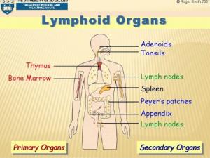 organes lymphoïdes