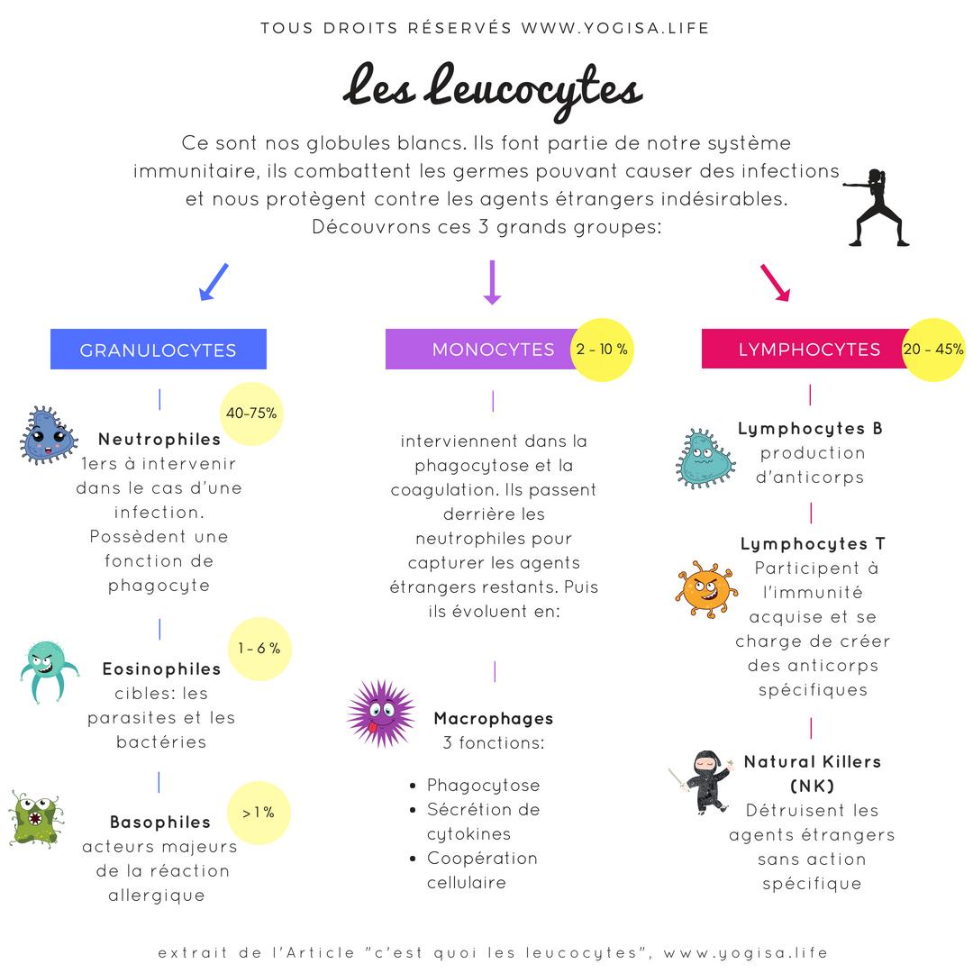 infographie les leucocytes